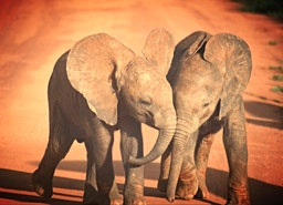 Kenya's Baby Elephants