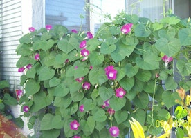 GET READY FOR SPRING:)) WITH MORNING GLORY SEEDS