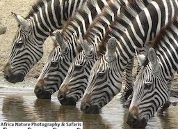 The Zebras
