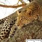 The Serengeti Cats.
