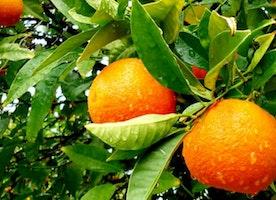 Best Methods for Growing Citrus Trees