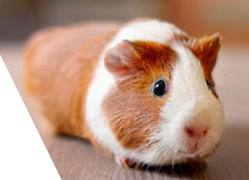 Give Shelter To A Little Animal: Adopt Guinea Pig