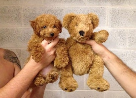 Chubby Puppies Who Look Like Teddy Bears