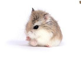 What You Need To Know About Dwarf Hamsters Types