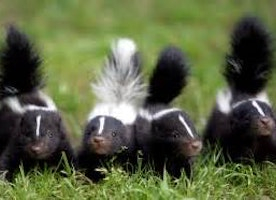 Meeting with Skunks