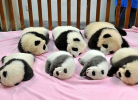 Chinese Panda Daycare Is Definitely The Most Adorable Place On Earth!
