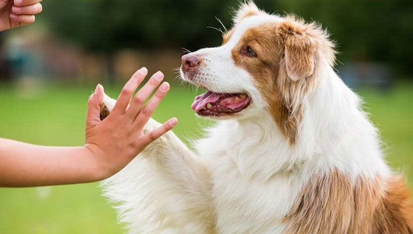 Train Your Dog to Shake Hand Quickly and Easily