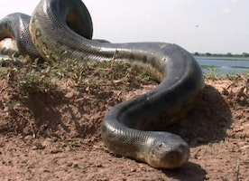 Snake chaser has recorded largest snake in the world