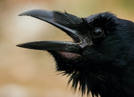 Always In Season: Could There Be Ravens?