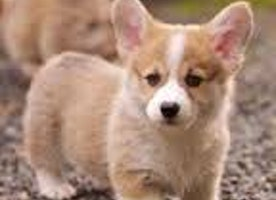 Lovely Pictures of Cute Puppies