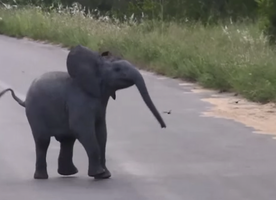 Baby Elephant Chases Birds, Will Make You Cry With Happiness