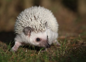 What Do Hedgehogs Eat? It's Easy If You Do It Smart
