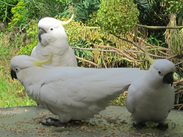 Wild Birds At My Table... The Kings Of Cockatoos....