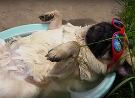 Adorable Pug Sleeping in a Tub
