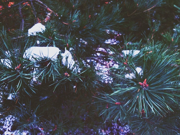 How to Keep The Needles of Your Christmas Tree from ...