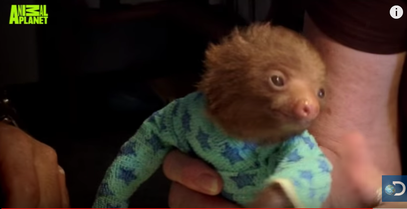 Because I'm on a sloth kick, here is one of the cutest videos I've seen of them