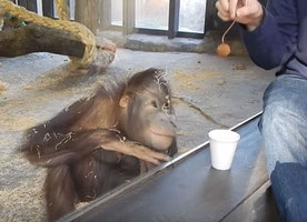 Orangutan Is Rolling On Floor Laughing After Guy's Magic Trick! Heart Cannot Handle!