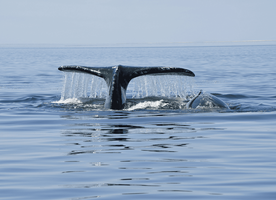 Few Intriguing Facts about Grey Whales