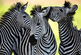 Know Zebras Interesting facts