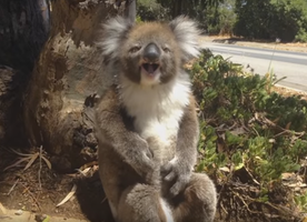 This Koala Tantrum is EVERYTHING!