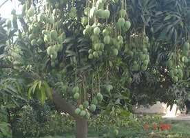 Mango History in Pakistan