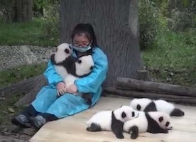 Professional Baby Panda Hugger Is The Dream Job!
