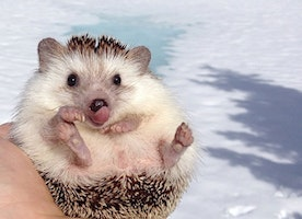 This Cute Hedgehog Traveled Around the World. Here Are the Photos.