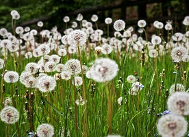 Grow Meadows Not Lawns to Save the Pollinators