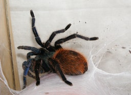 5 Tarantulas You Won't Believe Are Real