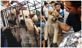 STOP THE YULIN DOG MEAT EATING FESTIVAL
