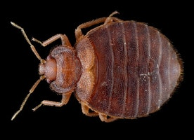 Bed Bugs and Beyond