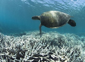 Great Barrier Reef Experiences Worst Bleaching Event in History