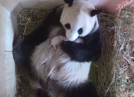 If You want to Understand Being a Mom, Watch this Panda Taking Care of her Newborn Twins!