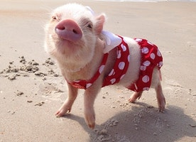 Meet Priscilla: The Prettiest Mini Pig On Instagram