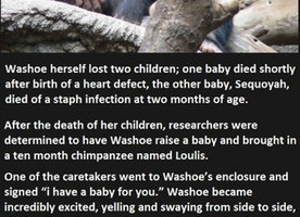 This Chimp's Reaction To Her Caretaker Losing Her Baby Was So Unexpected.
