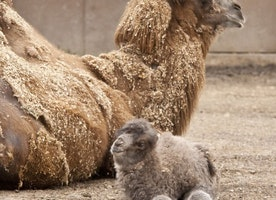 In case you were wondering, here's what a baby camel looks like