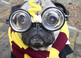I am now a big fan of Doug the Pug. These are his best moments in one video. Prepare to smile :-)