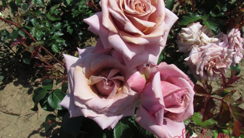 Turn Any Occasion into a Special One with Gourgeus Roses