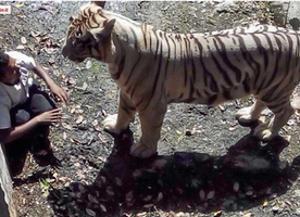 Staring Death in the Face: Tiger kills student at a zoo in India