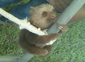 If you are feeling stressed, this baby sloth playing will put it all in perspective