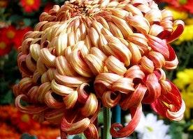 Smith's Annual Chrysanthemum Show