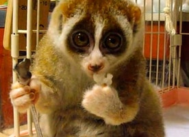 The Slow Loris: Cutest Animal Ever?