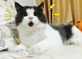 Meet The OMG Cat, The Feline Who Is Always Surprised