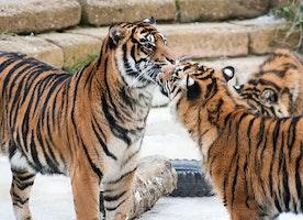 TIGERLAND:  Big Cat Poaching Must End