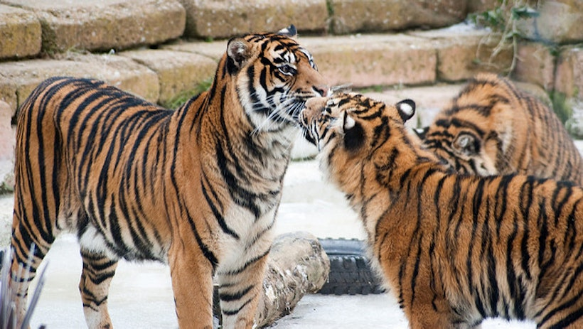 TIGERLAND:  Big Cat Poaching Must End