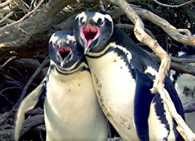 Twitter Is Losing It Over This 'Homewrecker' Penguin Fight