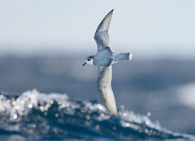 When seabirds smell plastic in the ocean, they think it's time to eat