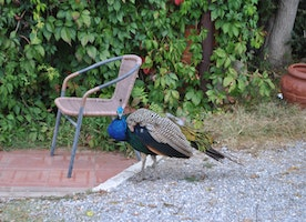 A Peacock and a chair...must be Tuscany