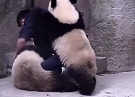 These 2 Pandas Avoid Taking Their Medicine in the Most Ridiculously Adorable Way.