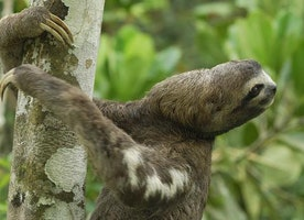 After a pregnant sloth fell out of a tree, a vet performed a pioneering operation to save both mother and baby